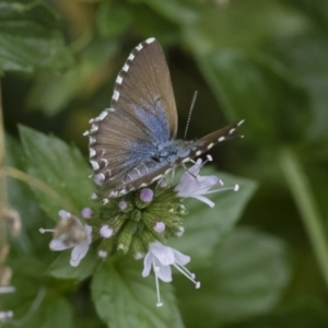 Theclinesthes serpentata at Michelago, NSW - 22 Mar 2019