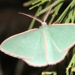 Chlorocoma (genus) (Emerald moth) at Ainslie, ACT - 27 Mar 2019 by jbromilow50
