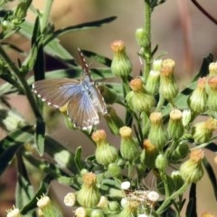Theclinesthes serpentata (Saltbush Blue) at Cotter Reserve - 27 Mar 2019 by RodDeb