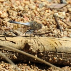 Orthetrum caledonicum (Blue Skimmer) at Paddys River, ACT - 27 Mar 2019 by RodDeb