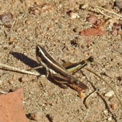 Macrotona australis (Common Macrotona Grasshopper) at Cotter Reserve - 27 Mar 2019 by RodDeb