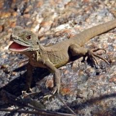Intellagama lesueurii howittii (Gippsland Water Dragon) at Paddys River, ACT - 27 Mar 2019 by RodDeb