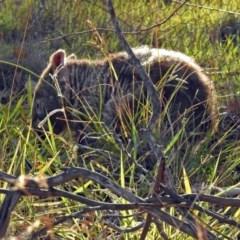 Vombatus ursinus (Wombat) at Paddys River, ACT - 27 Mar 2019 by RodDeb