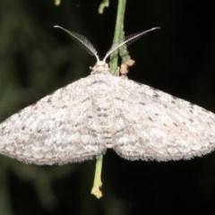 Phelotis cognata (Long-fringed Bark Moth) at Ainslie, ACT - 24 Mar 2019 by jbromilow50
