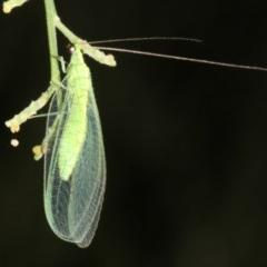 Mallada sp. (genus) (Green lacewing) at Mount Ainslie - 24 Mar 2019 by jbromilow50