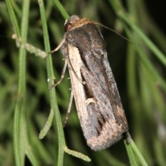 Proteuxoa tortisigna (Streaked Rictonis Moth) at Mount Ainslie - 24 Mar 2019 by jbromilow50