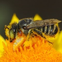 Megachile (Eutricharaea) macularis (Leafcutter bee, Megachilid bee) at ANBG - 22 Mar 2019 by TimL
