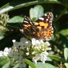 Vanessa kershawi (Australian Painted Lady) at Hughes, ACT - 26 Mar 2019 by JackyF