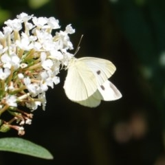 Pieris rapae (Cabbage White) at Hughes, ACT - 26 Mar 2019 by JackyF