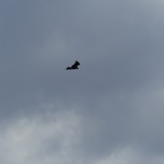 Aquila audax (Wedge-tailed Eagle) at Mount Majura - 28 Mar 2019 by WalterEgo