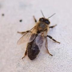 Apis mellifera (European honey bee) at Flynn, ACT - 27 Mar 2019 by Ernier