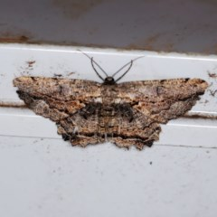 Scioglyptis lyciaria (White-patch Bark Moth) at O'Connor, ACT - 28 Mar 2019 by ibaird
