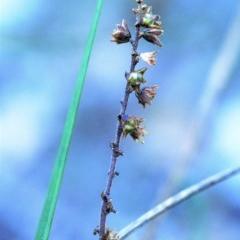 Lomandra micrantha subsp. tuberculata (Small-flowered mat-rush) at South Pacific Heathland Reserve - 9 May 2018 by Nicholas de Jong