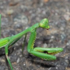 Pseudomantis albofimbriata (False garden mantis) at ANBG - 26 Mar 2019 by TimL