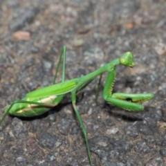 Pseudomantis albofimbriata at ANBG - 26 Mar 2019