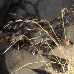 Lachnagrostis filiformis (Blown Grass) at Theodore, ACT - 27 Feb 2019 by michaelb
