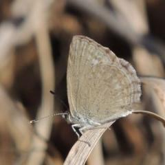 Zizina otis (Common Grass-Blue) at Theodore, ACT - 27 Feb 2019 by michaelb