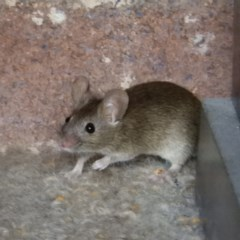 Mus musculus (House Mouse) at Kambah, ACT - 30 Mar 2019 by MatthewFrawley