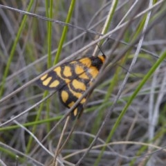 Asura lydia (Lydia Lichen Moth) at Mongarlowe River - 13 Mar 2019 by AndyRussell