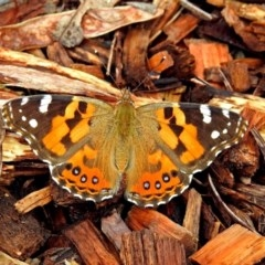 Vanessa kershawi (Australian Painted Lady) at ANBG - 29 Mar 2019 by RodDeb