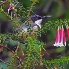 Acanthorhynchus tenuirostris (Eastern Spinebill) at ANBG - 29 Mar 2019 by RodDeb