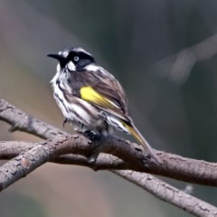 Phylidonyris novaehollandiae (New Holland Honeyeater) at ANBG - 29 Mar 2019 by RodDeb