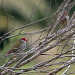 Neochmia temporalis (Red-browed Finch) at ANBG - 29 Mar 2019 by RodDeb
