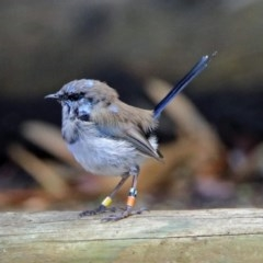 Malurus cyaneus (Superb Fairywren) at ANBG - 29 Mar 2019 by RodDeb