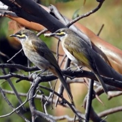 Caligavis chrysops (Yellow-faced Honeyeater) at ANBG - 29 Mar 2019 by RodDeb