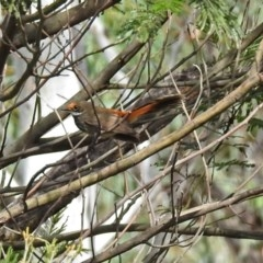 Rhipidura rufifrons (Rufous Fantail) at ANBG - 29 Mar 2019 by RodDeb