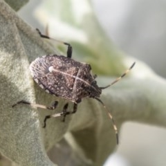Oncocoris geniculatus (A shield bug) at ANBG - 29 Mar 2019 by AlisonMilton