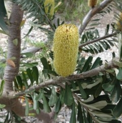 Banksia marginata (Banksia) at Sth Tablelands Ecosystem Park - 28 Mar 2019 by galah681