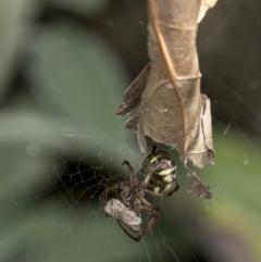 Phonognatha graeffei (Leaf-curling spider) at Higgins, ACT - 22 Mar 2019 by AlisonMilton