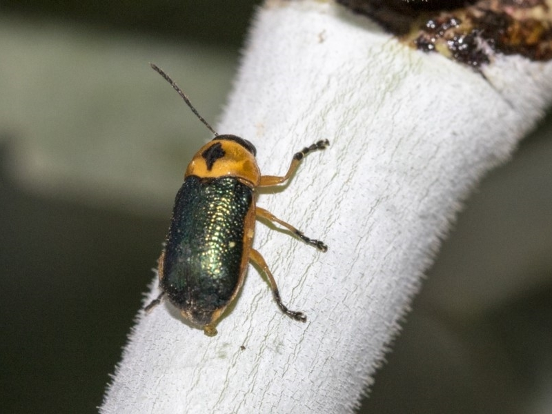 Aporocera (Aporocera) consors at Higgins, ACT - 26 Mar 2019