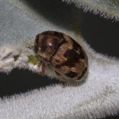 Elaphodes cervinus (Leaf beetle) at Higgins, ACT - 25 Mar 2019 by AlisonMilton