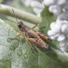 Phaulacridium vittatum (Wingless Grasshopper) at ANBG - 29 Mar 2019 by AlisonMilton