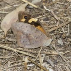 Heteronympha merope (Common Brown) at Higgins, ACT - 25 Mar 2019 by AlisonMilton