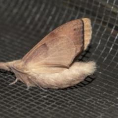 Pararguda nasuta (Wattle Snout Moth) at Queanbeyan East, NSW - 27 Mar 2019 by AlisonMilton