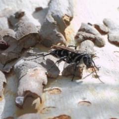 Turneromyia sp. (genus) at ANBG - 27 Mar 2019