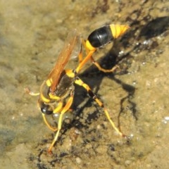 Sceliphron laetum (Common mud dauber wasp) at Theodore, ACT - 27 Feb 2019 by michaelb