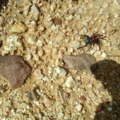 Missulena occatoria (Red-headed Mouse Spider) at Cotter River, ACT - 31 Mar 2019 by RyuCallaway