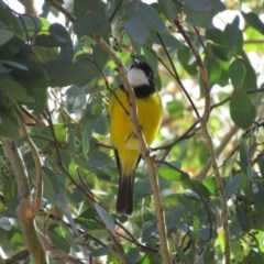 Pachycephala pectoralis (Golden Whistler) at Lower Cotter Catchment - 30 Mar 2019 by KumikoCallaway
