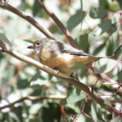Pachycephala rufiventris (Rufous Whistler) at Lower Cotter Catchment - 31 Mar 2019 by KumikoCallaway