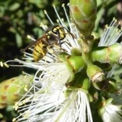 Vespula germanica (European wasp) at Acton, ACT - 31 Mar 2019 by Christine