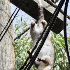 Pseudocheirus peregrinus (Common Ringtail Possum) at Aranda, ACT - 30 Mar 2019 by KMcCue
