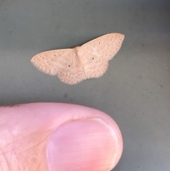 Scopula optivata (Varied Wave) at Bungendore, NSW - 23 Feb 2019 by yellowboxwoodland