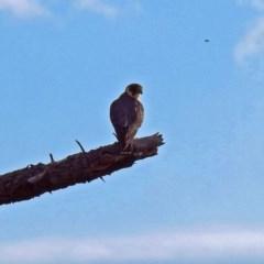 Falco longipennis (Australian Hobby) at Jerrabomberra Wetlands - 31 Mar 2019 by RodDeb