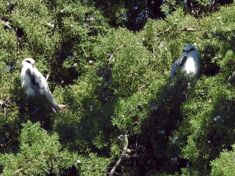 Elanus axillaris at Jerrabomberra Wetlands - 31 Mar 2019