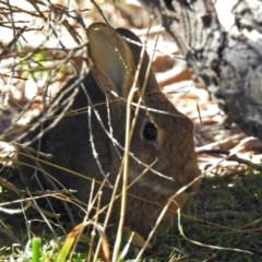 Oryctolagus cuniculus (European Rabbit) at Jerrabomberra Wetlands - 31 Mar 2019 by RodDeb