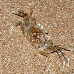 Ocypode cordimana (TBC) at Batemans Marine Park - 29 Mar 2019 by jbromilow50